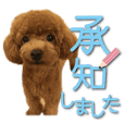 Cute dog Toy poodle (7)Large letters