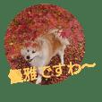 AKITA DOG MOKO in autumn