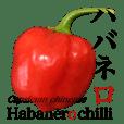 Habanero sticker