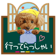 toy poodle LUCK 7