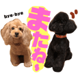 A good friend Toy poodle 5