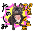 French Bulldog Coco 2