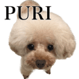 Poodles PURI