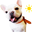 French Bulldog A-tuo