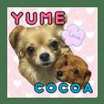 chihuahua yume-chan&cocoa-chan