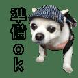 Chihuahua's coo4