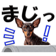 Miniature Pinscher dairy words