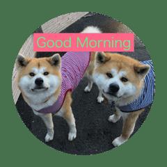 秋田犬 ポチ&ハチ Part2