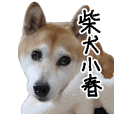 Shiba Inu Kohachannel Live Action