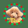 トイプードル日常5 (冬)クリスマス お正月