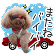 toy poodle LUCK 8