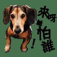 My Lovely PIPI (Dachshunds) 01