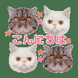 Exizoticshorthair cat D&M