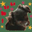 Real DOG Pome & Poodle -YUu-
