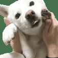北海道犬の小雪です。