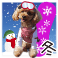 toy poodle LUCK 9<winter>