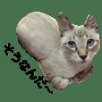 シャムトラ猫のミンク