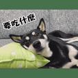 shiba_remu2