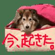 癒し犬はむおの日常