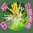 Good morning-evergreen flowering
