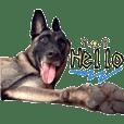 Belgian Malinois (dog&wolf)