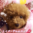 Rosie of toy poodle