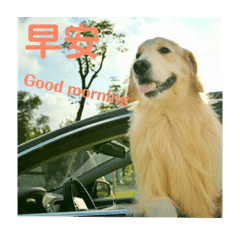 號稱黃金獵犬界彭于晏之Kuma