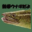 Tropical anguillid eels