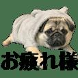 【犬】パグのマロちゃん