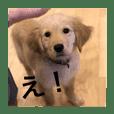 ゴールデンレトリバー【子犬編2】