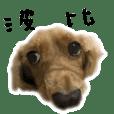 BOBBY, a dachshund'S LIFE SHOW
