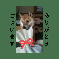 シバココ日和(敬語)