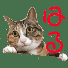 猫のはるちゃんのスタンプ