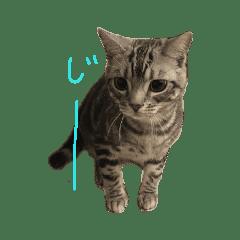 ネコのコタロウ