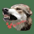 狼犬の日常
