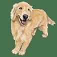 優しい犬!5永遠のゴールデンレトリバー