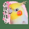 オカメインコ(*´ω`*)敬語