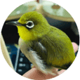 Japanese white-eye GuaiGuai