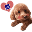 a real dog toy poodle moco japanese 3