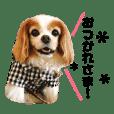 癒しのシニア犬 ラブの日常【キャバリア】