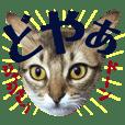 みろちゃん3(ソマリ猫)