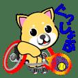 shiba inu playing wheelchair tennis