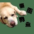 拉布拉多-台北帥狗臭迪