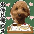 トイプードルのモコちゃん【敬語版】実写