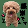toy-poodle Tiida 2