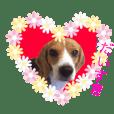 愉快なビーグル犬☆ ベルファミリー