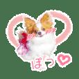 チワワっぽいパピヨンのてまりちゃん(40個)
