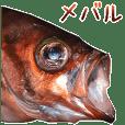Red rockfish is Mebaru