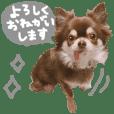 chihuahua is name choco gray