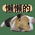 蹦啾日常1._.最可愛的天竺鼠